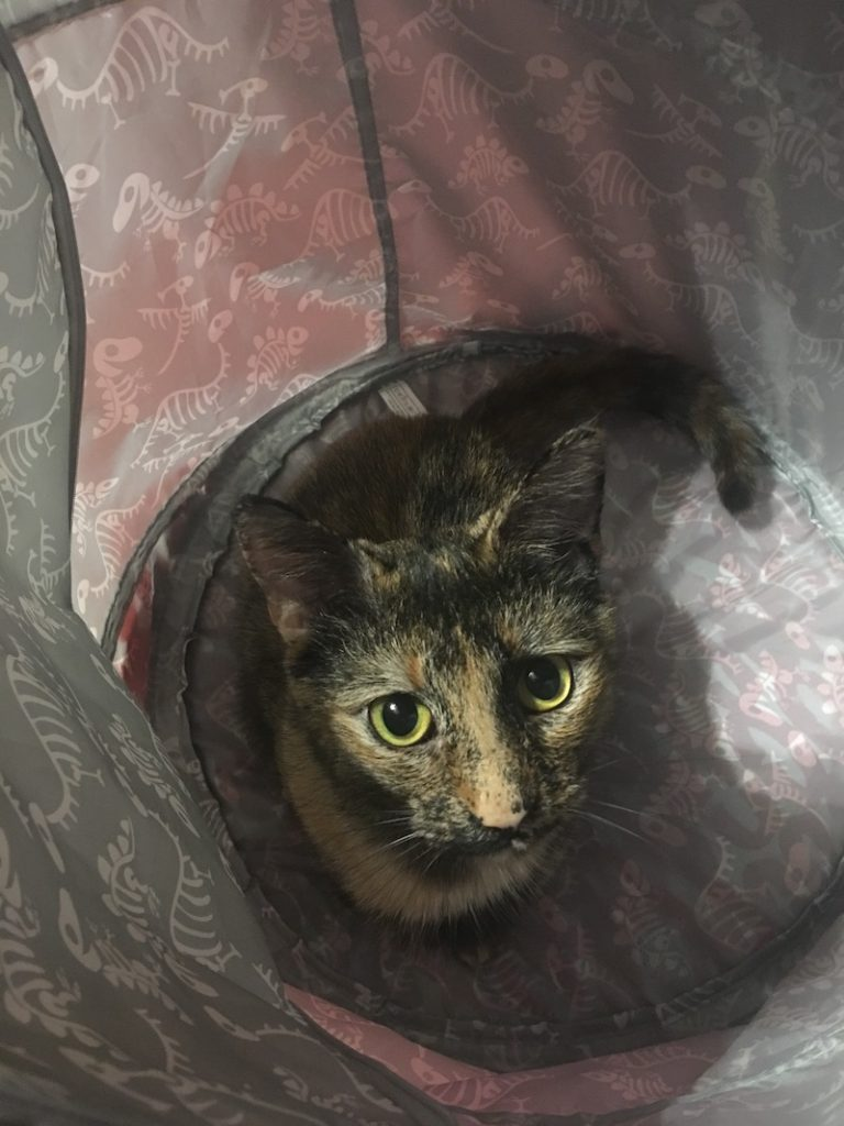 photo of alert calico house cat from above