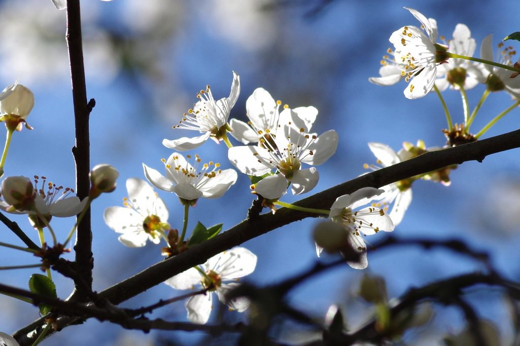 Close-up of white plum blossoms catching the sun on a dark branch with blue sky in the background