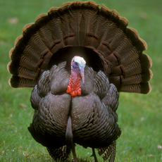 A handsome photo of a turkey.